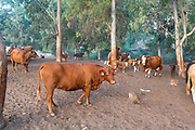 Free roaming cattle grazing in the fields