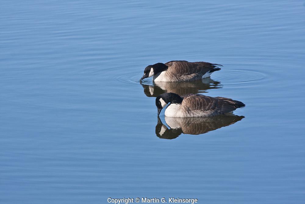 Canada Geese (Branta canadensis) at Cherry Creek Reservoir, Colorado.