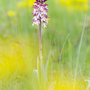 Lady Orchid starting to bloom in meadow with yellow flowers