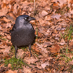 """Gralha-de-nuca-cinzenta (Corvus monedula) fotografado na Alemanha, na Unição Européia - Europa. Registro feito em 2016.<br /> ⠀<br /> <br /> ENGLISH: Western jackdaw photographed in Germany, in European Union - Europe. Picture made in 2016."""
