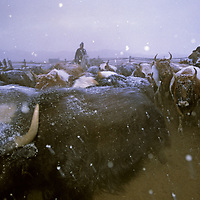 MONGOLIA, Darhad Valley. Herders release cattle, yaks and oxen from pens where they're kept for the night to protect them from wolves.