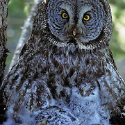Great Gray Owl, (Strix nebulosa) Portrait of adult and chicks in nest in old growth forest.Spring . Montana.