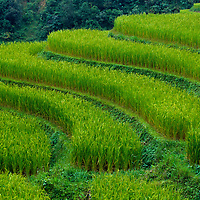 Lush, terraced rice paddies create textured landscapes in Hmong hill tribe country, Sapa, Vietnam
