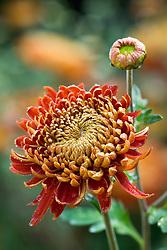 Chrysanthemum 'Hanenburg'