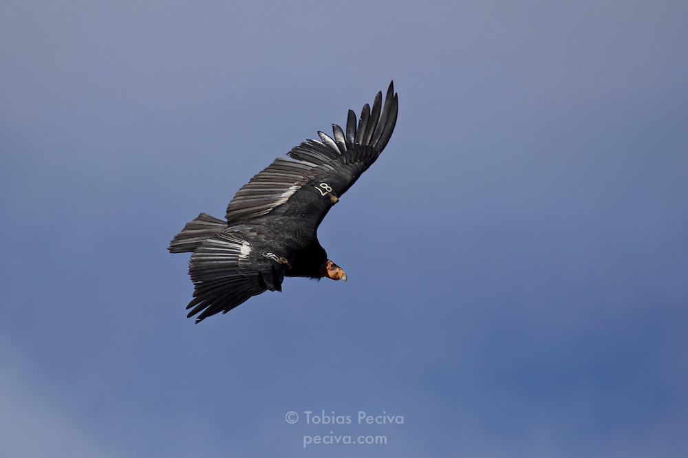 California condor soaring over Grand Canyon National Park, in northern Arizona. The wing tag (87) identifies this condor as a male, hatched in 1998.