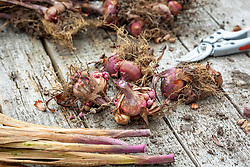 Storing lifted gladiolus bulbs over winter - removing dead foliage before putting away