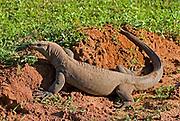 Land monitor moving across open ground, Yala National Park, Sri lanka