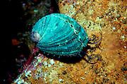 UNDERWATER MARINE LIFE EAST PACIFIC: Northeast CLAMS: Green abalone, juvenile Haliotis species