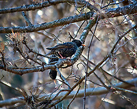 European Starlings eating berries. Image taken with a Nikon D300 camera and 80-400 mm VR lens (ISO 640, 400 mm, f/5.6, 1/250 sec).