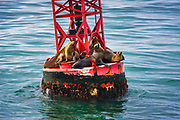California sea lions (Zalophus californianus) on a navigation buoy, Ventura, California USA
