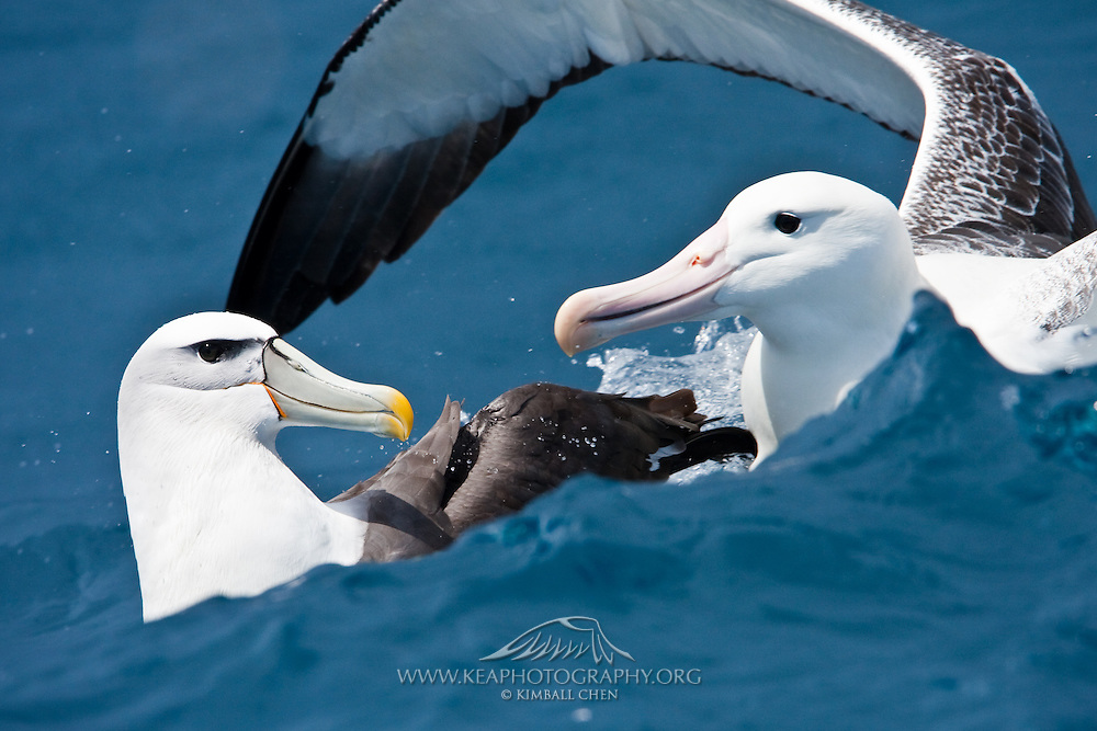 White-capped Albatross, Southern Royal Albatross, New Zealand