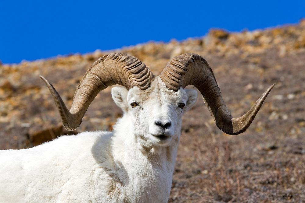 Dall's Sheep, rams, spring, Polychrome Pass, Denali National Park, Alaska. Digital original, ©Robin Brandt #2006_1777