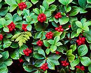 Red berries of Bunchberry, Cornus canadensis, with frond of Oak Fern, Gymnocarpium dryopteris, boreal forest floor between Papoose Lakes, lower Susitna Valley, Alaska.