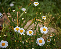 Daisy flowers. Image taken with a Leica TL-2 camera and 55-135 mm lens.
