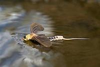 Mayfly (Palingenia Longicauda) during swarming in the river Tisza, Hungary, June 2009.