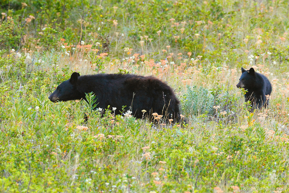 A black bear (Ursus americanus) leads her cub through a field of blueberries in Waterton Lakes National Park, Alberta, Canada. It is the most common bear species in North America, found in 41 of the 50 U.S. states and all Canadian provinces except Prince Edward Island.