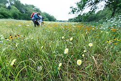 Photographer in wildflower field, Big Spring historical and natural area, Great Trinity Forest, Dallas, Texas, USA