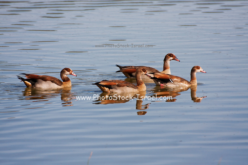 a family of Egyptian Goose (Alopochen aegyptiaca) swimming in water. The Egyptian Goose is a member of the duck, goose, and swan family Anatidae. It is native to Africa south of the Sahara and the Nile Valley. Photographed in Israel in April