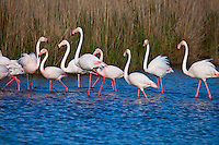Animals, Flamingos.<br />