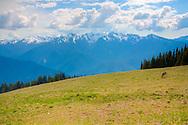 Deer grazing in field - Hurricane Ridge - Olympic National Park, WA