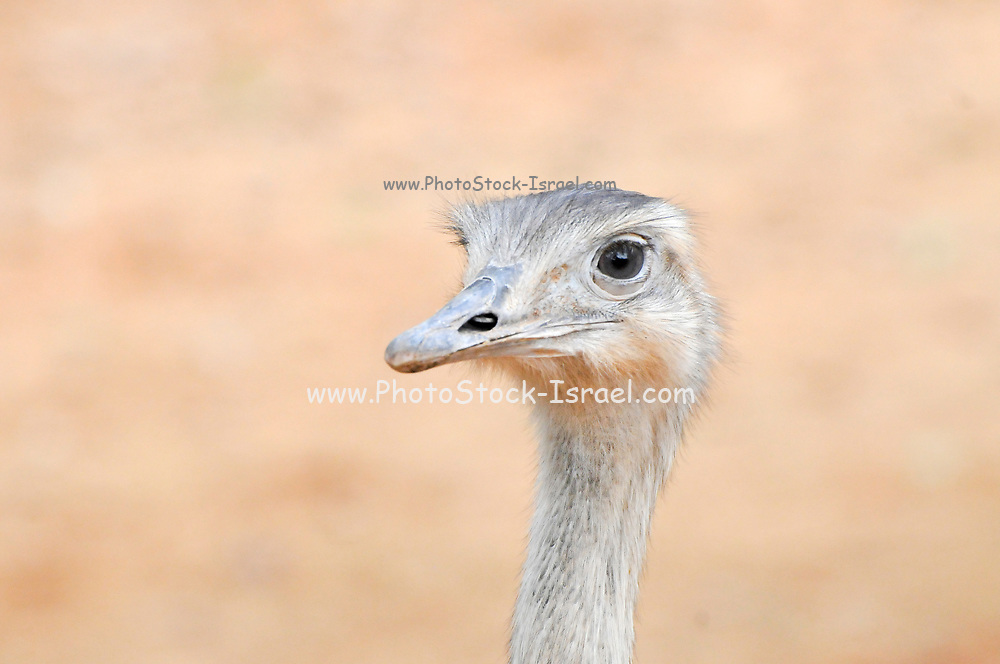 close up of the head of an ostrich Struthio camelus