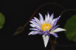 Water Lily, Purple #4