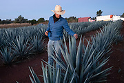 A field manager inspects the tips of blue agave plants to see if they are ready for harvest at a farm owned by the Casa Siete Leguas tequila distillery outside Atotonilco de Alto, Jalisco, Mexico. The Seven Leagues tequila distillery is one of the oldest family owned distilleries and produces handcrafted tequila using traditional methods.