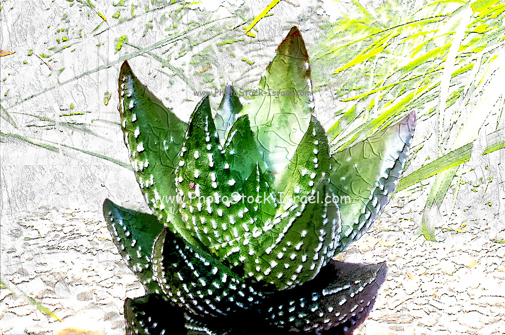 Digitally enhanced image of a Haworthia reinwardtii (Zebra Wart), showing its rosette of succulent and stiff leaves with thorns. The juice of the leaves of several Aloe species has medicinal properties in the treatment of ulcers, purulent ophthalmia, as a cream for reddened or sunburnt skin, and as a mosquito-repelling lotion.