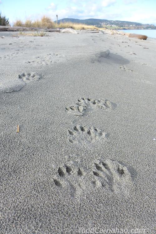 River Otter tracks on the Beach