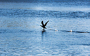 Cormorant skimming water in search of food.