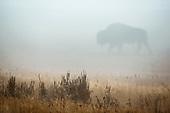 American Buffalo (Bison)