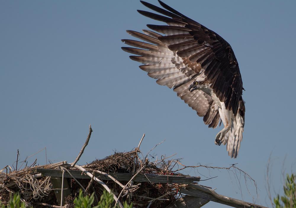 Osprey Landing on Nest in Chesapeake Bay