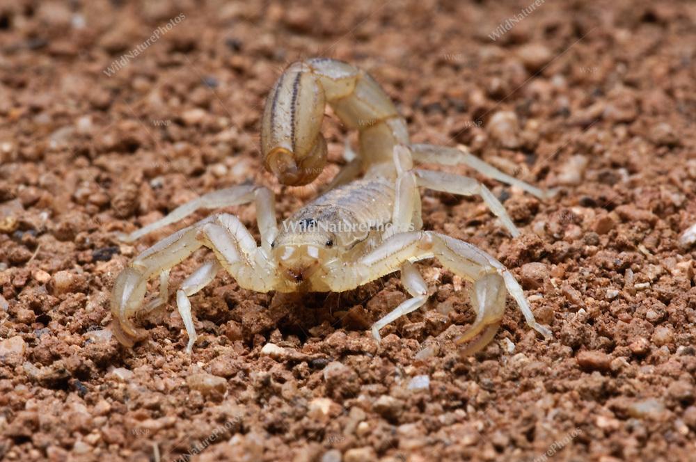 Stripe-taileded Scorpion (Vaejovis spinigeris); Sonoran Desert, Arizona