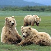 Alaska brown bear (Ursus middendorffi) cubs with their mother in the distance. Alaska Peninsula