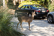 A fearless deer roams up a driveway at a private home on Fripp Island, SC.