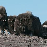 A herd of Muskox with new babies. Alaska