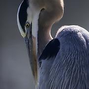 Great Blue Heron (Ardea herodias) preening. Florida