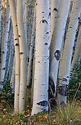 Aspen boles, autumn, Red Mountain Pass, San Juan National Forest,  south of Ouray, Colorado