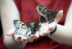 © Licensed to London News Pictures. 25/01/2012. Woking, UK.  An RHS Wisley worker holds butterflies at a photo call for 'Butterflies in the Glasshouse' at RHS Garden Wisley in Woking, Surrey on January 25th, 2012. For four weeks the greenhouse at RHS Wisley is transformed by over one thousand colourful butterflies which only live for a few weeks. Photo credit : Ben Cawthra/LNP