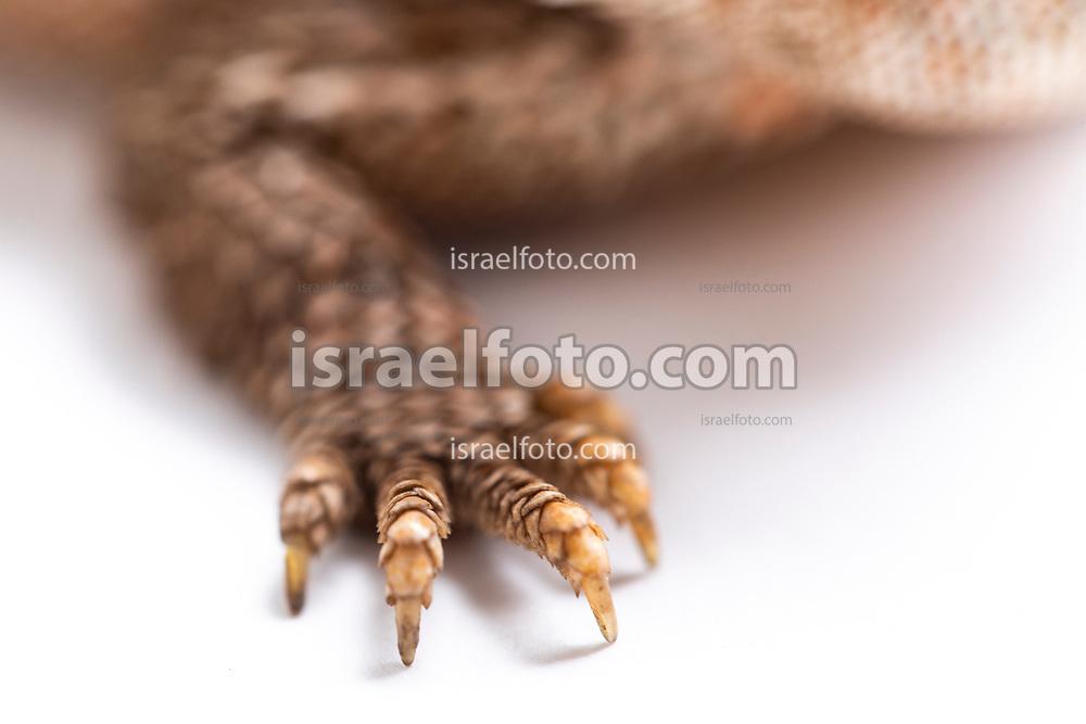 Garra de un dragón cornudo  /  Claw of a horned Toad
