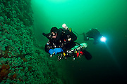 Scuba diver swims along the invertebrate encrusted walls of Browning Passage in Vancouver Island, British Columbia, Canada