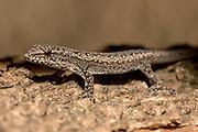 Dwarf gecko (Lygodactylus sp.) from Atsirabe, eastern Madagascar.