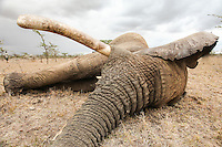 A mighty tusker having a snooze while a satellite collar is fitted around his neck.