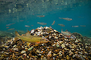 Hornyhead Chub Mound<br /> <br /> Isaac Szabo/Engbretson Underwater Photography