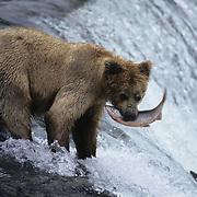 Alaskan brown bear fishing for salmon at Brooks Falls on the Brooks River, Alaska.