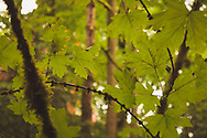 Springtime foliage -  Lakewood, WA
