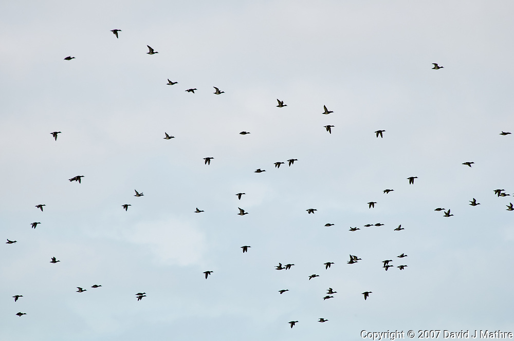 Flock of Ducks in Flight. Weedon Island. Pinellas County, Florida. Image taken with a Nikon D300 camera and 80-400 mm VR lens.