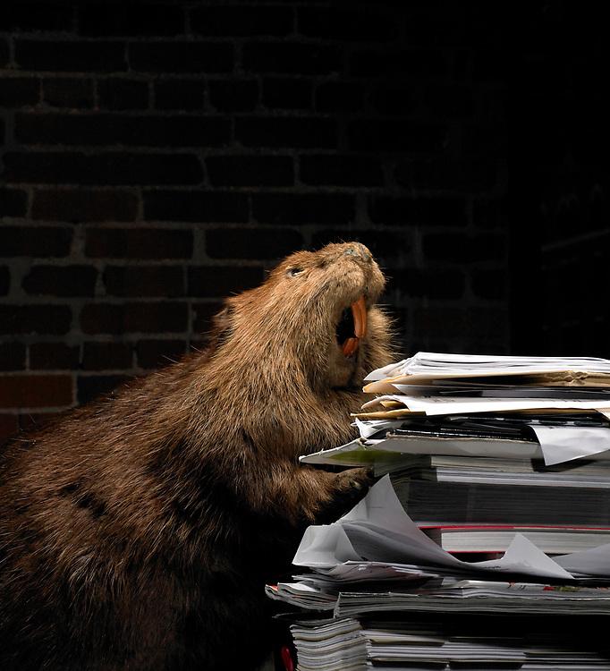 Beaver in office setting