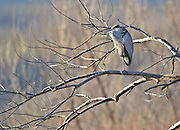A Yellow-crowned Night-Heron (Nyctanassa violacea) watches for dinner on one leg at the Bosque del Apache National Wildlife Refuge, near Socorro, New Mexico.
