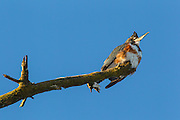 A female belted kingfisher (Megaceryle alcyon) hunts from its perch in a snag over the Sammamish River in Kenmore, Washington. Kingfishers often sit on prominent exposed perches, about 5 to 20 feet above the water, searching for small fish. When they find one, they dive head first into the water to catch it.